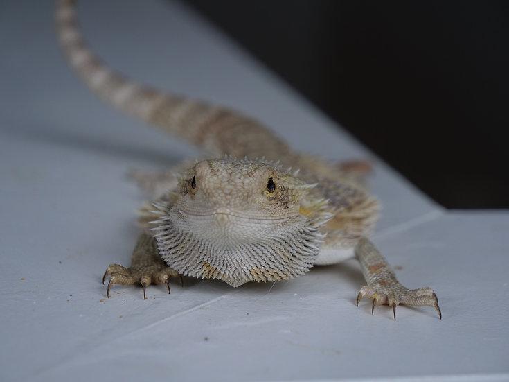 Juvenile Female Bearded Dragon