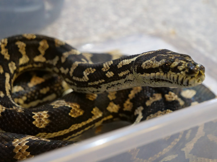 Adult Male Carpet Python