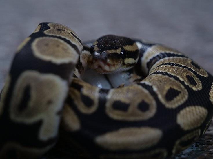 Juvenile Male Ball Python