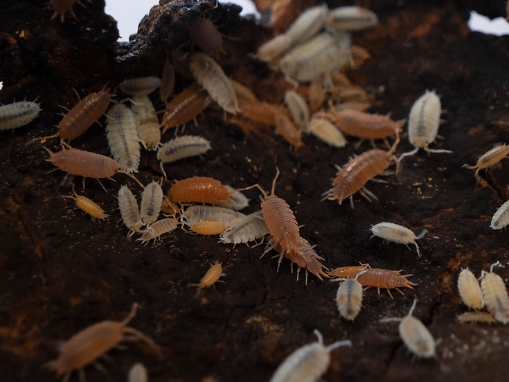 Powder Orange Isopods (15ct)