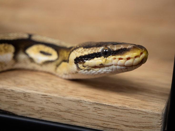Female Pastel Calico Ball Python