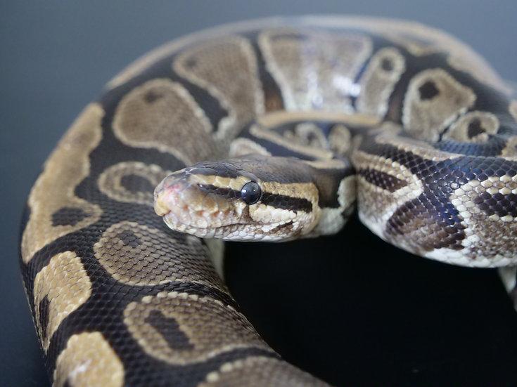 Adult Male Normal Ball Python