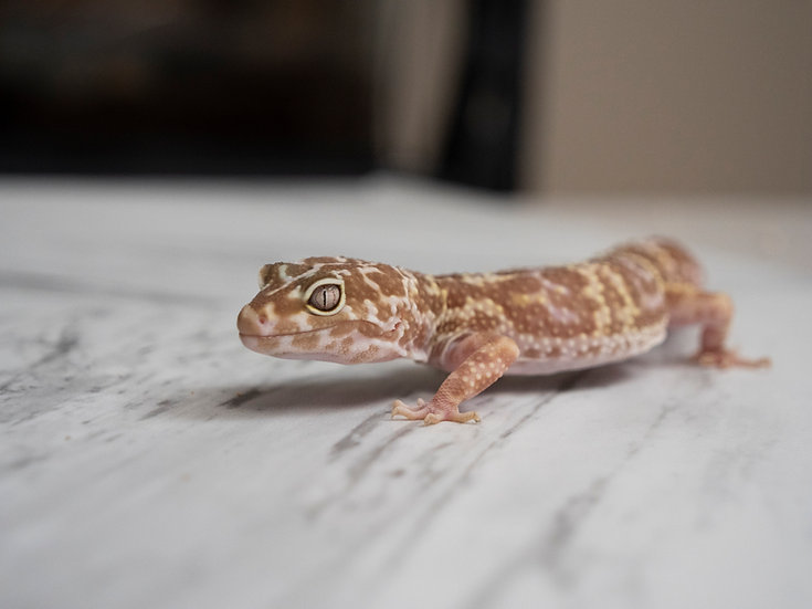 Female Mack Snow Tremper Albino Leopard Gecko