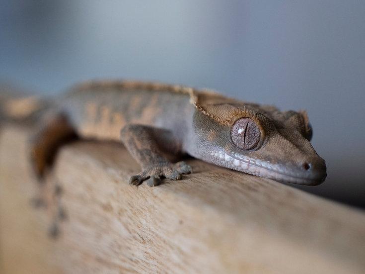 Juvenile Harlequin Crested Gecko