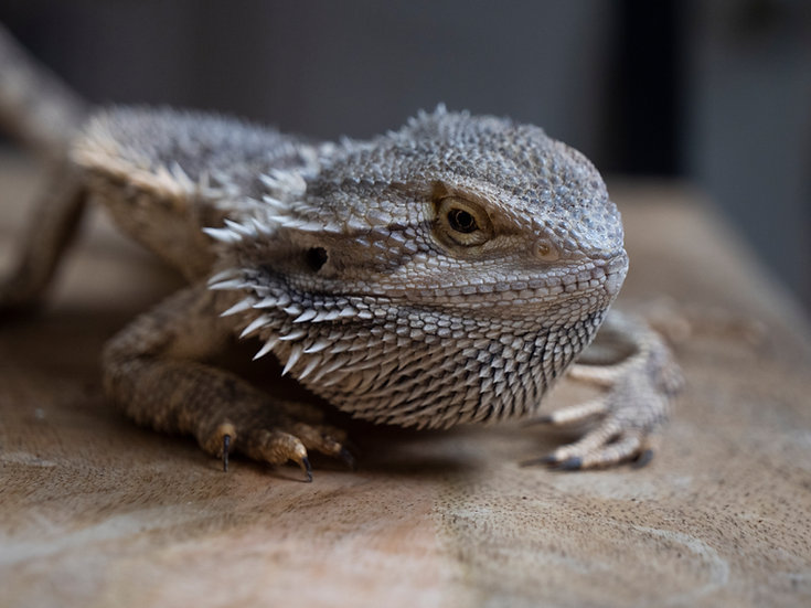 Adult Female Bearded Dragon (with MBD)