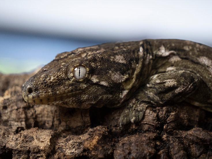 GTa X Nuu Anna Male Leachianus Gecko