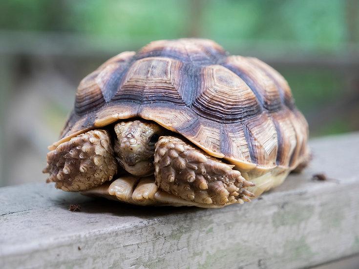 Juvenile Sulcata Tortoise