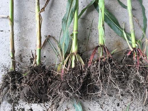 corn 4.jpg