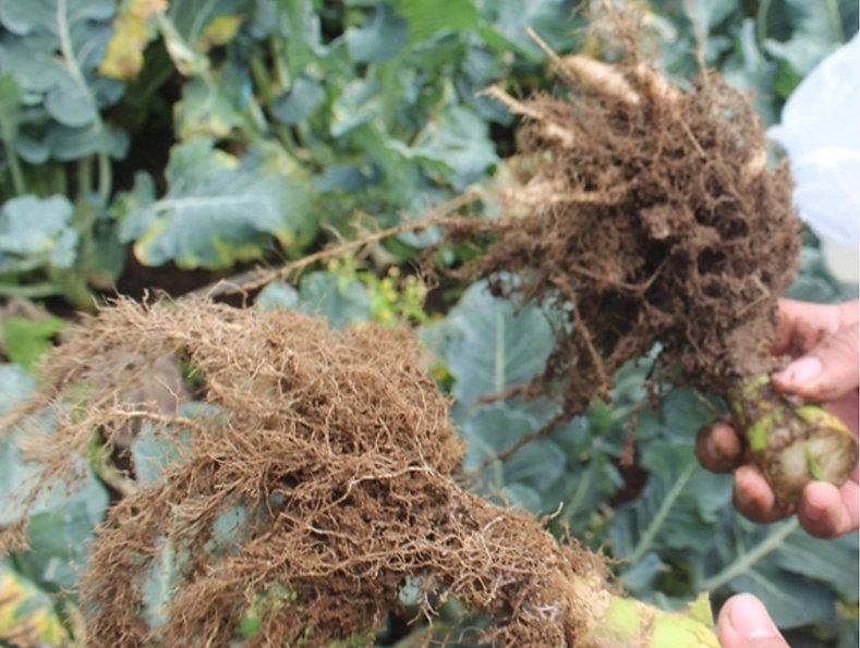 brocolli roots 2.jpg