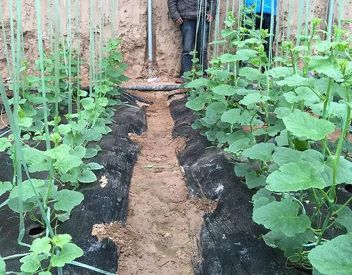cucumber 1.jpg
