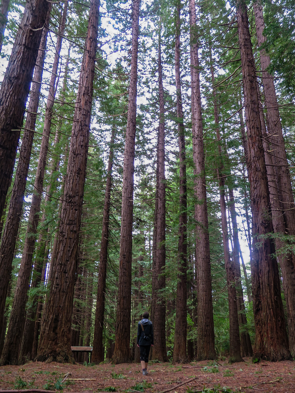 Redwoods new zealand rotorua