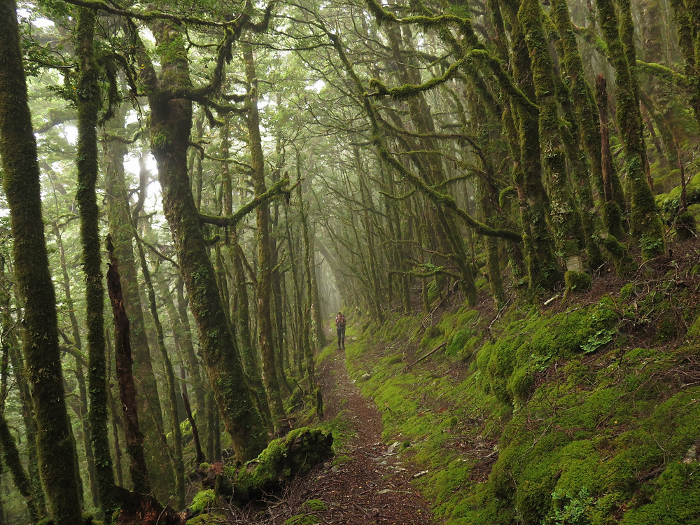 misty forest tramping on kirwans hiking trail