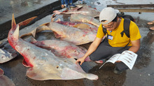 The Sherlock Holmes of the Shark Fisheries Industry