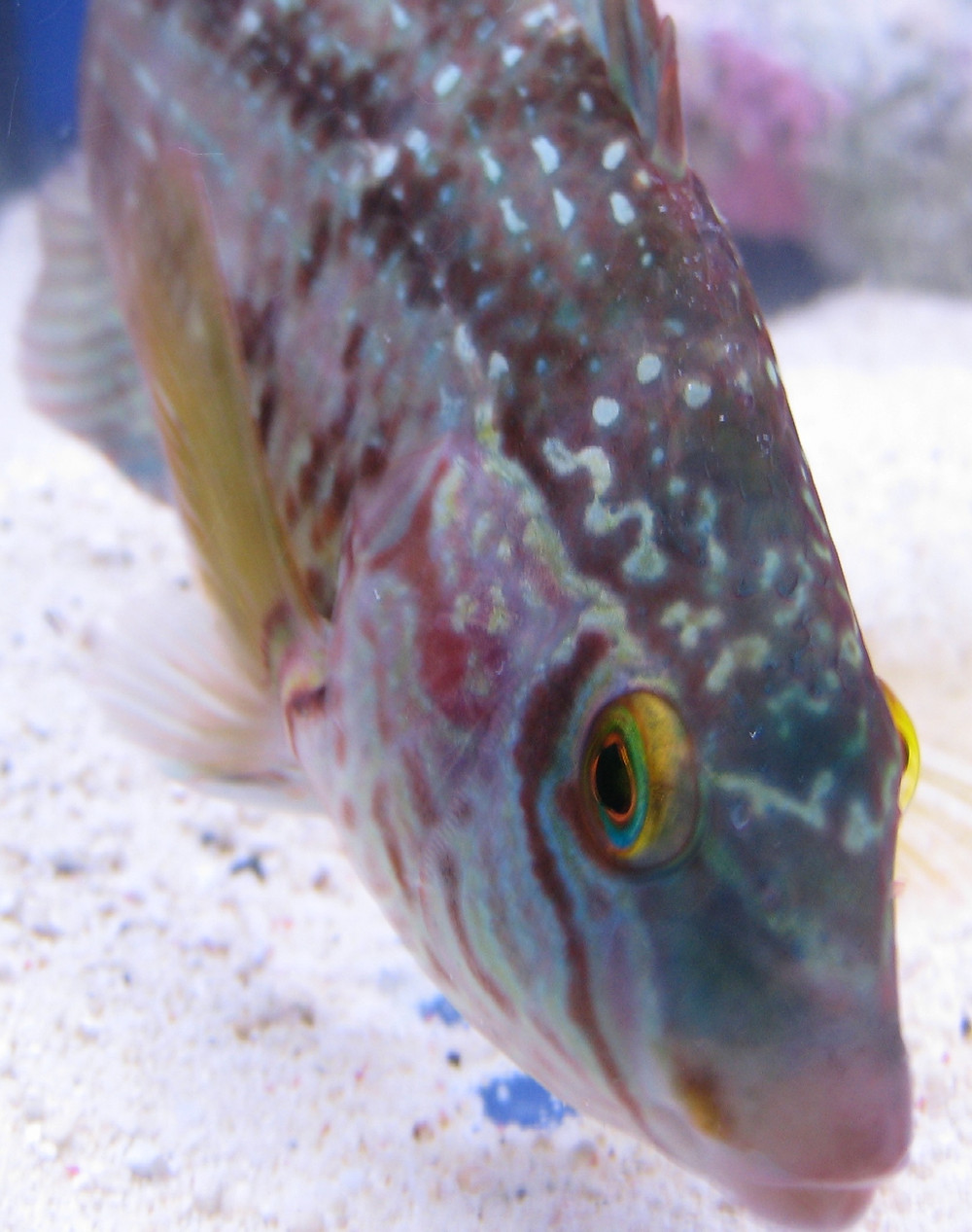 """The corkwing wrasse, Symphodus melops, is known to change from female to male. Though not in every area of its distribution range…"""