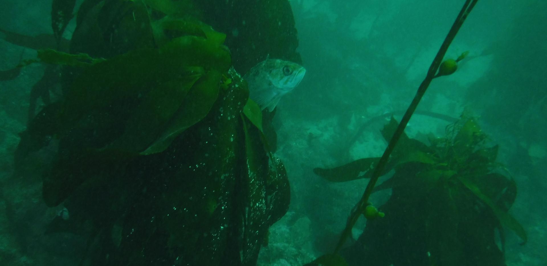 Rockfish_kelp.JPG