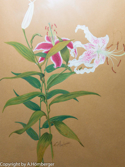 Lilien Rot-Weiß