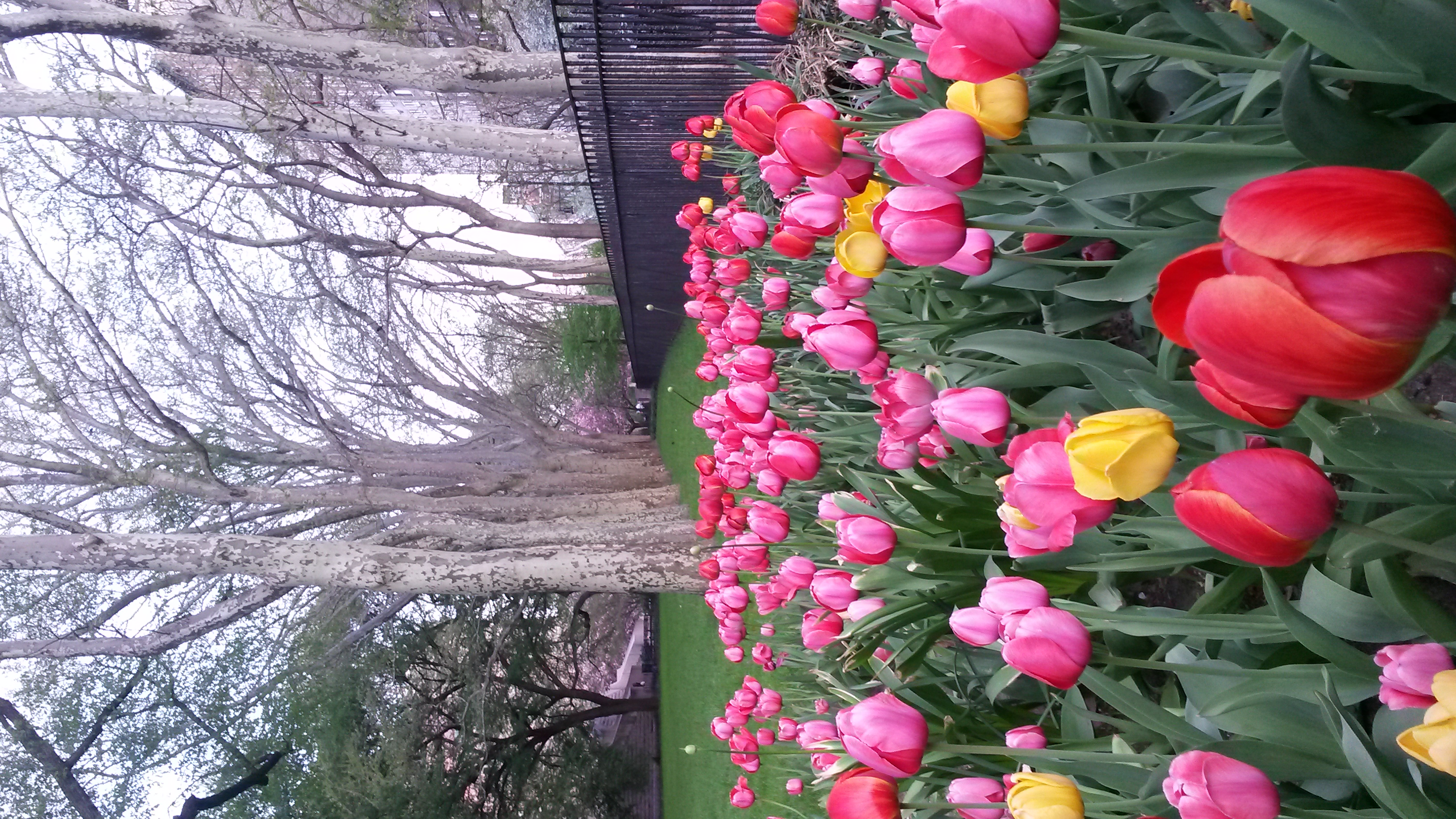Tulips at Museum of Natural History
