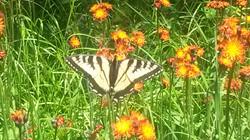 Purdy Butterfly