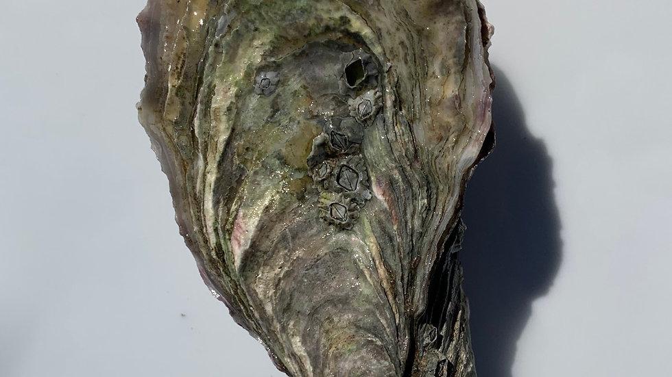 Oysters (Crassostrea Gigas)
