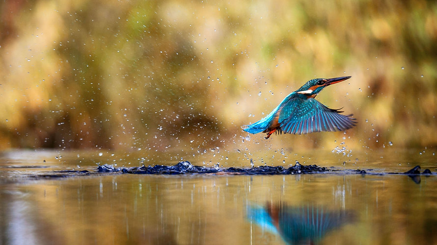 Kingfisher in flight_edited.jpg