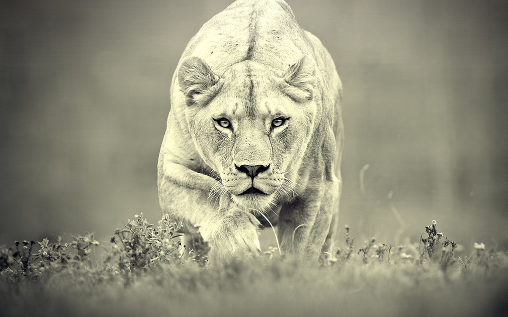 A lioness does not concern herself with the opinions of sheep, humans or the pelvic floor