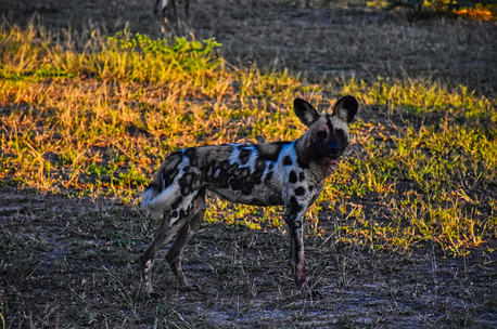 Wild Dog - South Luangwa National Park, Zambia