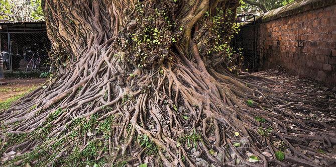 Tree at Van Mieu