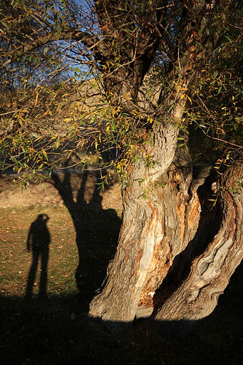 Willows Shadow.jpeg