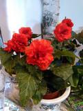 Kimjongilia-kukkia
