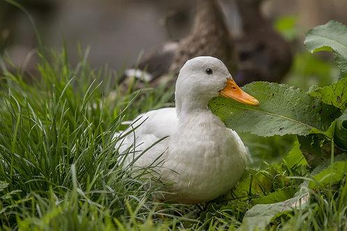 Pekin Duck (adults)