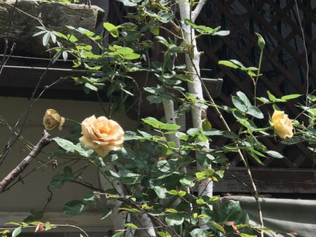 バラが咲きはじめました。