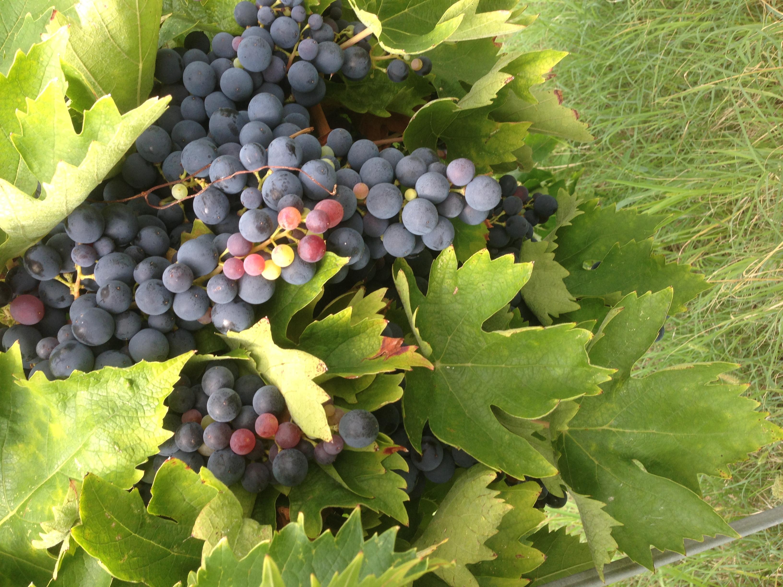 ענבי יין באיטליה ביום בציר