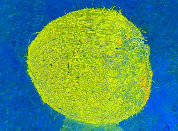 TJAŠA IRIS, COCONUT MOON, (Yellow)