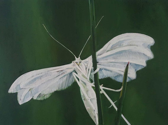 "HANNAH FEIGL, ""Federgeistchen (plume moth)"""