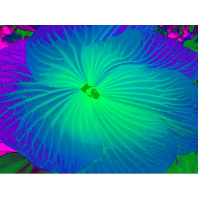 """Tjaša Iris , """"Blue Hibiscus"""""""