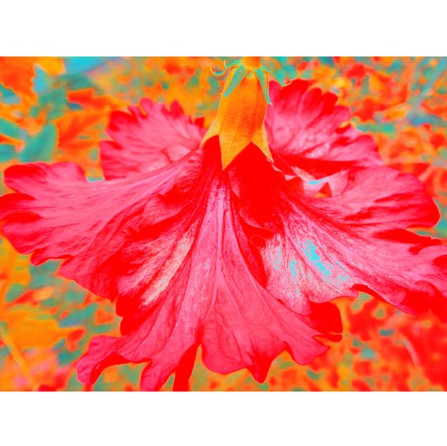"Tjaša Iris , ""Red Hibiscus"""