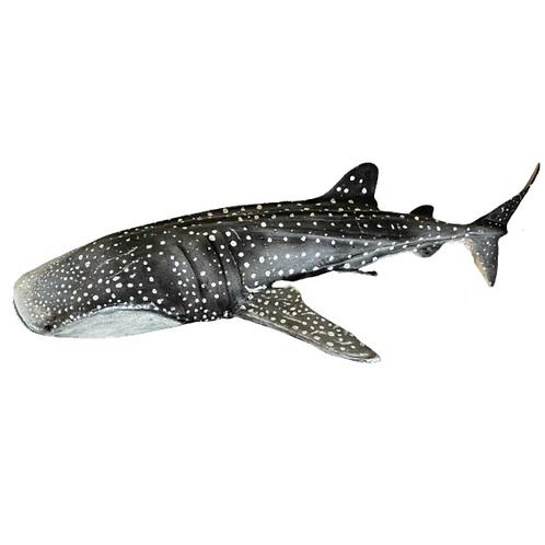 Driftwood Whale Shark