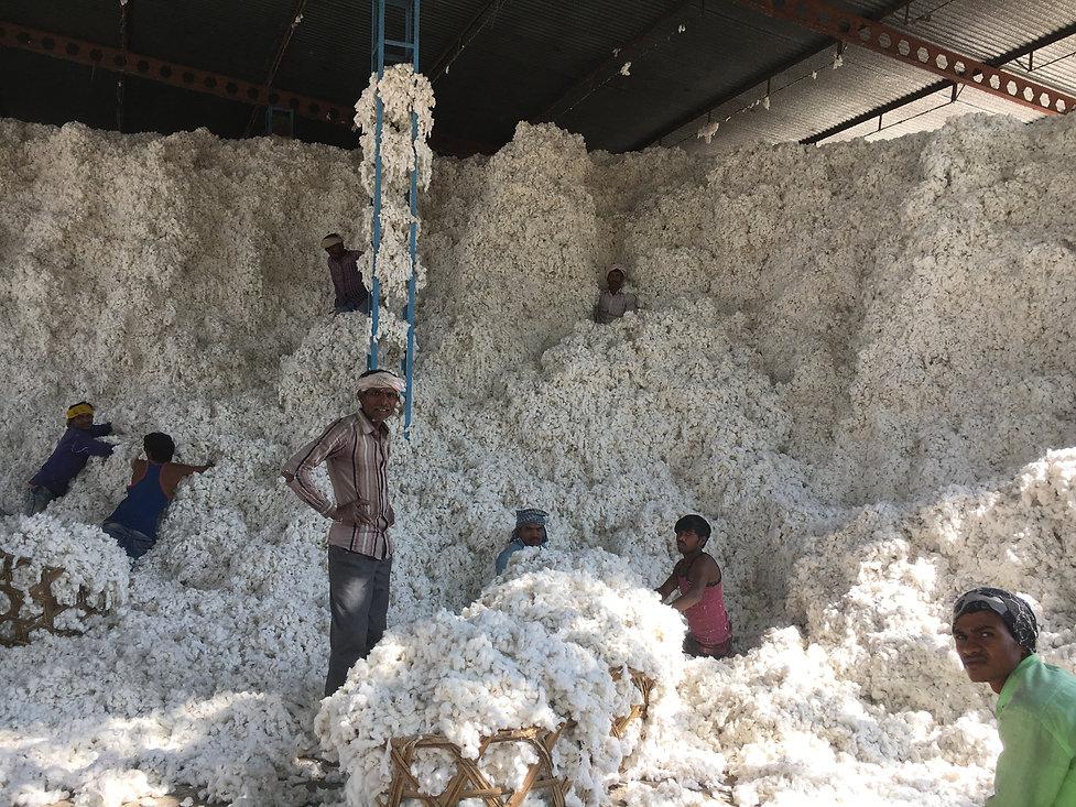 収穫した原料綿