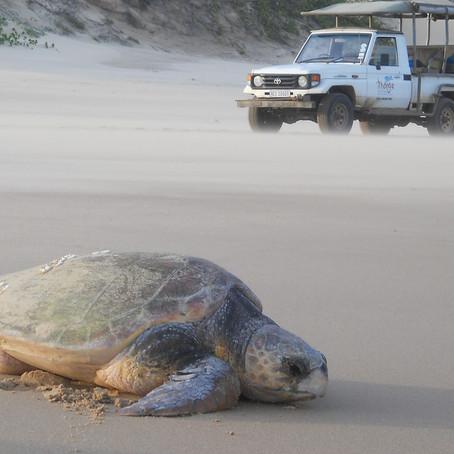 TURTLE TRACKING AT THONGA BEACH LODGE