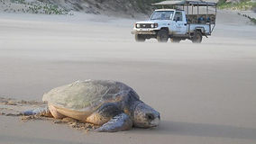 turtle-tracking-at-Thonga-pic-Donna-Sche