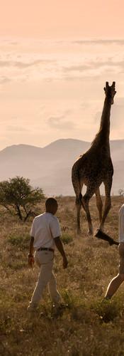 giraffe-tracking-bush-walk-samara-karoo-
