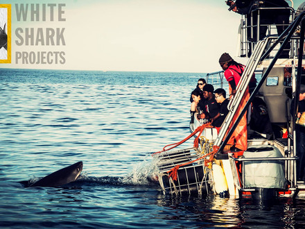 Shark Cage Diving with White Shark Projects