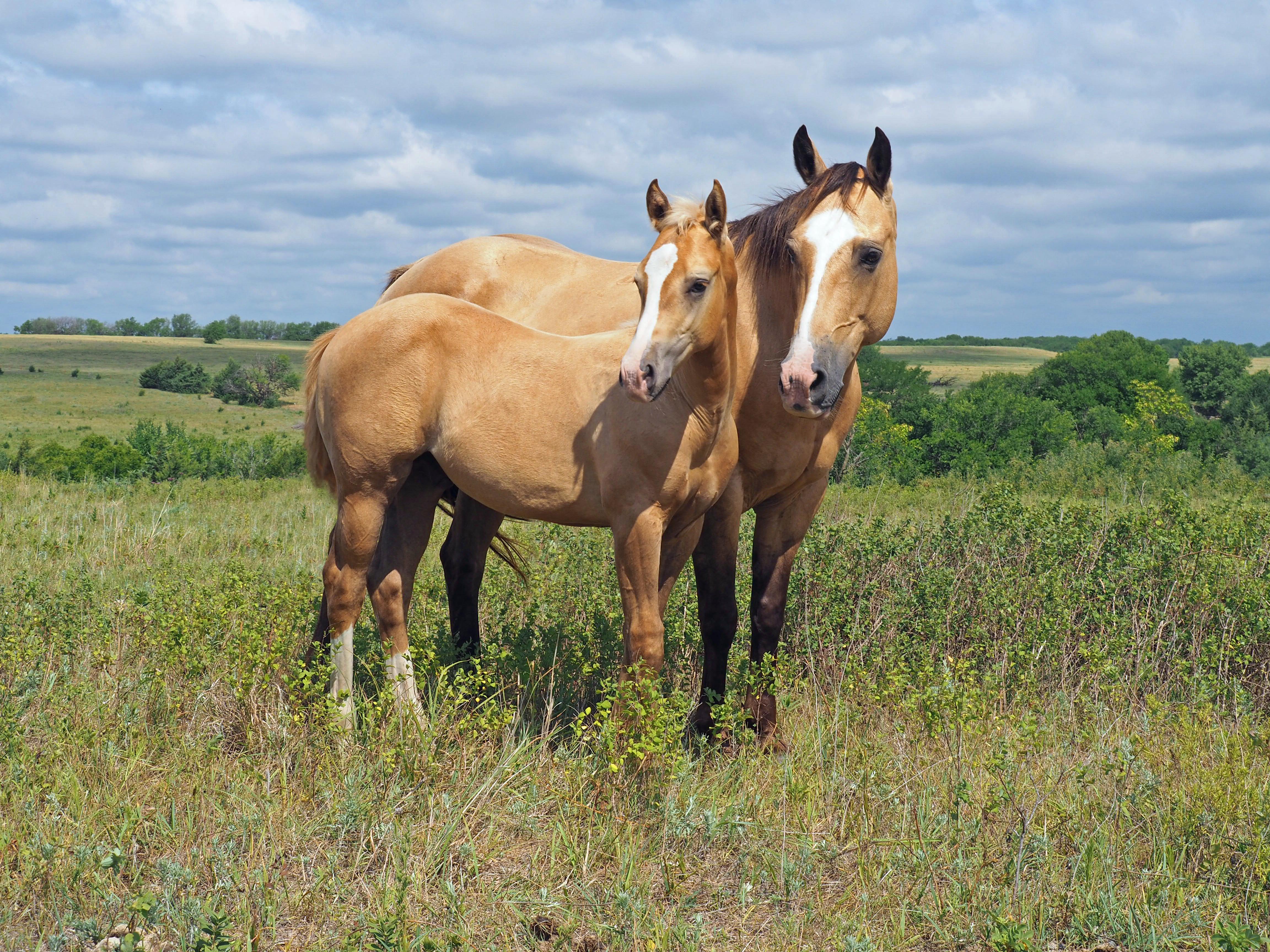 """Cisco"" horse colt"