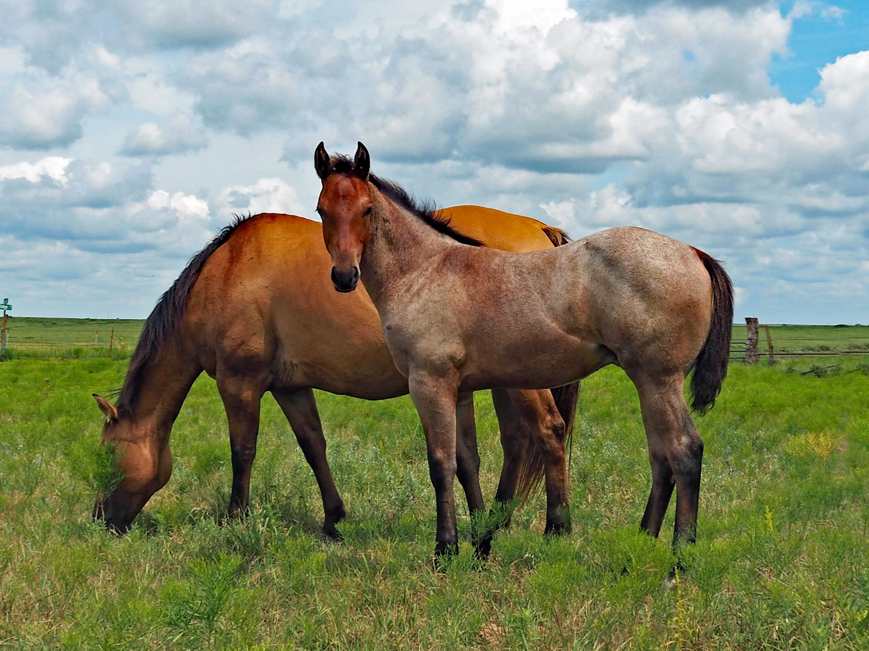 """""""Big Mo"""" horse colt"""