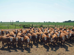 Hereford Heifers weaning day