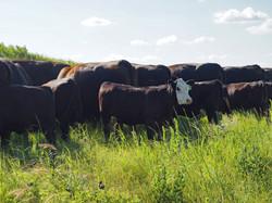 Spring BWF Heifer
