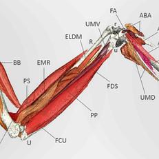 wingmuscles2 copy.jpg