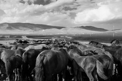 Wild horses gathered around a pond of water in Mongolia