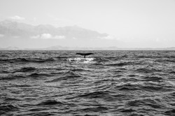 A photograph of a whale's tail as it dives in taken in New Zealdn