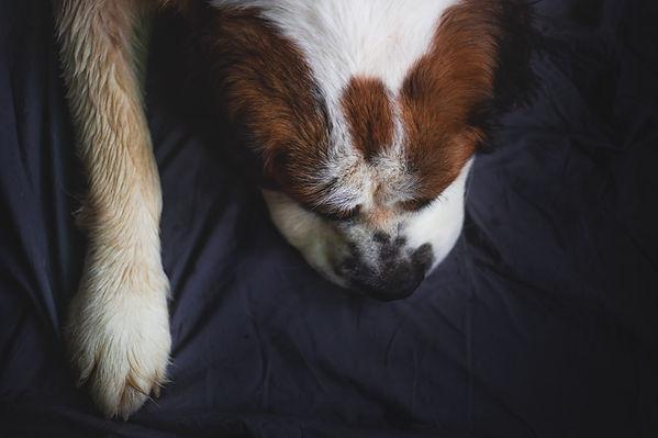 Saint Bernard lying down with it's paw